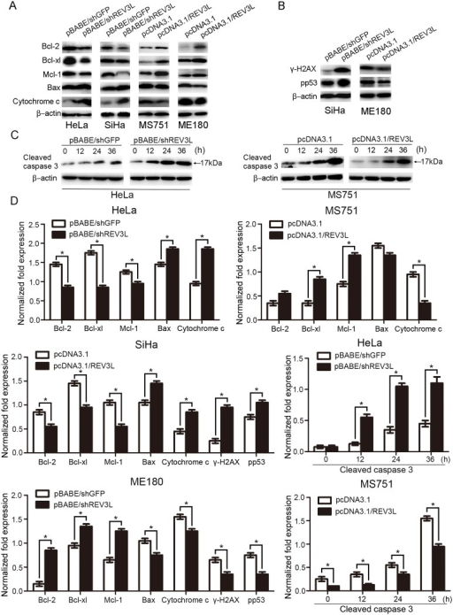 Alteration of mitochondria-associated apoptotic proteins after cisplatin treatment.(A)The expression levels of Bcl-2, Bcl-xl and Mcl-1 were lower and levels of Bax and cytochrome c were higher in shREV3L cells compared with shGFP cells in response to the same dose of cisplatin. REV3L-overexpressing MS751 and ME180 cells showed higher levels of Bcl-2, Mcl-1 and Bcl-xl and lower levels of Bax and cytochrome c compared to the vector control cells. (B) γ-H2AX and p-p53(pS15) proteins were increased in SiHa shREV3L cells and decreased in ME180 REV3L cells, compared with control cells after cisplatin treatment. (C) Time-dependent expression of cleaved caspase-3 after exposure to a single dose of cisplatin (1 μmol/L) in MS751 cells and a single dose of cisplatin (10 μmol/L) in HeLa cells. Expression levels of cleaved caspase-3 were lower in MS751 REV3L cells and higher in HeLa shREV3L cells compared with control cells in response to the same dose of cisplatin in a time-dependent manner. (D) Normalized fold expression of each protein against internal control protein. Data are means of three independent experiments ± SEM. * P< 0.05.
