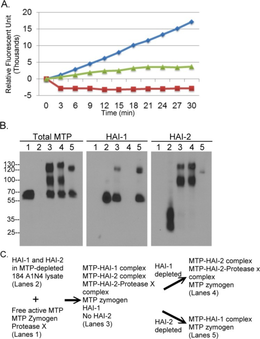 In Solution, HAI-2 is a better matriptase inhibitor than HAI-1.A. Active matriptase prepared from Ramos human B-cell lymphoma cells was mixed with 184 A1N4 human mammary epithelial cell lysate and incubated at 37°C for 10 min. Active matriptase preparation alone, cell lysate alone, and the mixture were analyzed for matriptase tryptic activity by cleavage of the fluorogenic substrate Boc-Gln-Ala-Arg-AMC. RFU stands for relative fluorescent units. B. The active matriptase preparation was mixed with matriptase-depleted 184 A1N4 cell lysates and at 37°C for 10 min to allow inhibition of matriptase by the HAIs. The mixture was divided and subjected to immunodepletion of HAI-1 species using the HAI-1 mAb M19 or HAI-2 species using the HAI-2 mAb DC16. The active matriptase preparation (lanes 1), the matriptase-depleted 184 A1N4 cell lysate (lanes 2), the mixture (lanes 3), the HAI-1 depleted mixture, and the HAI-2 depleted mixture were analyzed for matriptase species, HAI-1 species, and HAI-2 species by immunoblot using the matriptase mAb M24 (Total MTP), the HAI-1 mAb M19 (HAI-1) and the HAI-2 mAb DC16 (HAI-2), respectively.
