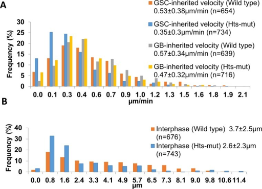 Centrosome velocity and distance to hub-GSC interface change in hts-mut GSCs.Based on the centrosome tracking analysis of live-image sequences, the A) Interphase centrosome velocities are shown for both hts-mut GSCs and wild type GSCs (p<0.01 between hts-mut and wild type for both GSC-inherited and GB-inherited centrosomes), and the B) GSC-inherited centrosome distance to the hub-GSC interphase histograms are shown for both hts-mut and wild type GSCs (p<0.01).