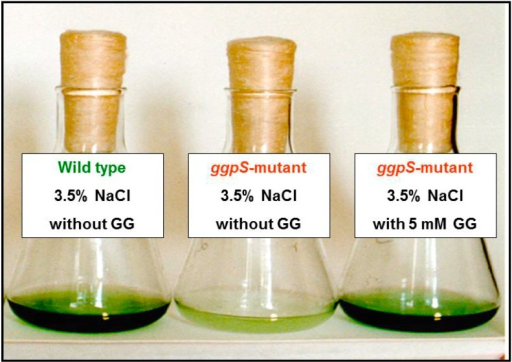 Comparison of growth of the Synechocystis sp. PCC 6803 wild type and the mutant defective in the gene for glucosylglycerol (GG) synthesis (ggpS) in medium supplemented with 3.5% NaCl. The wild type can grow, whereas the mutant cannot grow at this salinity. Supplementation of the salt medium with 5 mM GG restores the salt tolerance of the mutant, because the compatible solute is taken up by the mutant cells and becomes accumulated to levels comparable to wild-type cells.