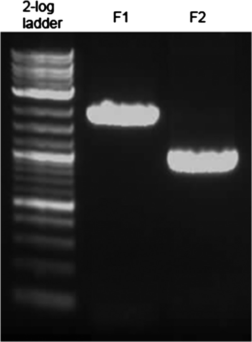 PCR products separated on a 1% agarose gel (100 V, 25 min). Concentrations of F1 and F2 were both estimated at ∼240 ng/μL. However, F1 is ∼2500 bp and F2 is ∼1000 bp. Thus, 2 μL of PCR reaction F1 was combined with 1.33 μL of PCR reaction F2 for the PCR fusion reaction.