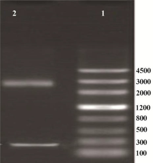 Electrophoresis of the products of pUC18 plasmid. Lane 1 contained DNA ladder (Genscrip (USA)), lane 2 contained 2 bands representing pUC18 and IGF-1.