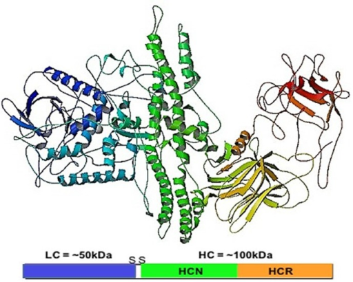 Botulinum Neurotoxin A1 (BoNT/A1): The 50 kDa light chain (LC) (blue) is linked to the 100 kDa heavy chain (HC) (green, yellow, and red). The HC is functionally divided into the translocation domain (HCN) (green) required for transport of the LC from the endosome into the cell cytosol, and the receptor binding domain (HCR) (yellow and red) through which BoNT binds to the cell surface. Crystal structure image from the Protein databank doi:10.2210/pdb3bta/pdb [36].