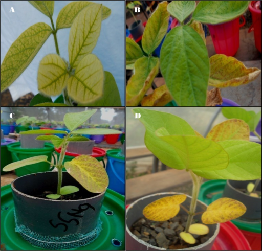 Nutrient deficiency symptoms noted during plant growth.(A) Mg deficiency in plus nitrogen treatment in Ferralsols from Kakamega (Shikhulu Sub-location), (B) K deficiency in minus K treatments in Ferralsols from Kakamega (Shikhulu sub-location), (C) P deficiency in minus magnesium treatments in Ferralsols from Butula, (D) Micro-nutrient deficiencies in minus micro-nutrient treatments in Acrisols from Masaba Central.