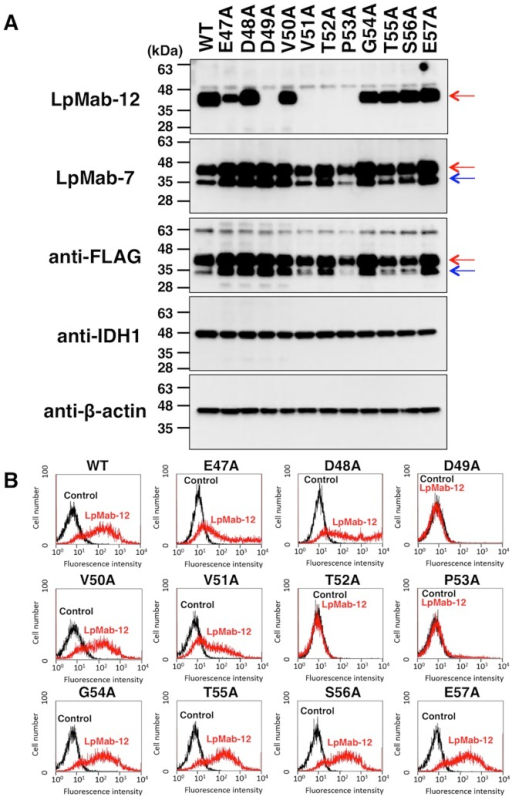 Epitope mapping of LpMab-12 by Western blot analysis and flow cytometry.(A) CHO-K1 cells were transfected with a plasmid expressing wild-type hPDPN with the FLAG-tag added to the C-terminus (WT), or the FLAG-tag hPDPN containing a point mutation in the sequence E47A-E57A, as indicated in the figure. Total cell lysates from the transfected cell lines were analyzed by Western blot with LpMab-12 or LpMab-7, as a positive control for hPDPN expression. Immunoblot with anti-FLAG antibody was also used as well to establish the expression of exogenous hPDPN. Anti-IDH1 and anti-β-actin mAbs were used as internal controls to show that total proteins are equal protein load. Red arrow, 40-kDa; blue arrow, 30-kDa. (B) CHO-K1 cells transfected as in (A) were analyzed by flow cytometry using indirect immunolabeling with LpMab-12. Cells exposed to the secondary anti-mouse IgG only were used as a negative control (Control).