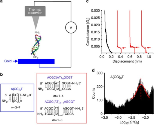Thermoelectric and conductance measurements of DNA.(a) Conductance and thermoelectric effect of a DNA molecule bridged between STM tip (kept at 295 K) and substrate (cold). (b) Two families of DNA sequences are studied in this work, denoted as (1) A(CG)nT, (2) ACGC(AT)mGCGT and ACGC(AT)m−1AGCGT (see Table 1 for a full list). (c) Conductance traces without (black) and with (red) dsDNA A(CG)3T, where plateaus are marked with red arrows. (d) Conductance histogram of A(CG)3T, where the solid red curve is Gaussian fit to the conductance peak. Note: G0=2e2/h=77.48 μS.