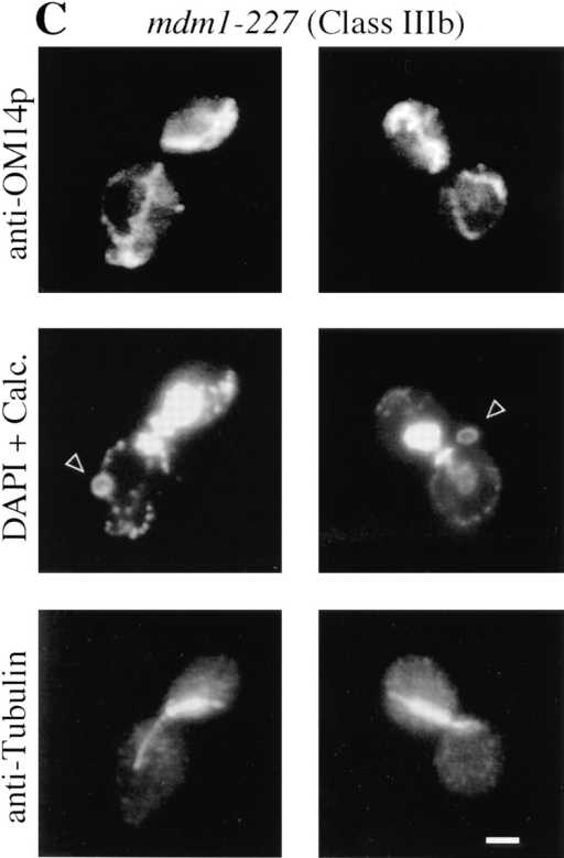 Class Ib-mdm1 and Class IIIb-mdm1 cells display complete transfer of nuclear DNA to daughter buds. MYY709 (mdm1-204)  (A) and MYY715 (mdm1-227) (B and C) cells were grown at 23°C, incubated for 4 h at 37°C, and fixed and processed as described for  Fig. 1. (A and B) Cells were stained with anti-OM14 followed by fluorescein-conjugated goat anti–mouse IgG, DAPI, and anti-MDM1p  followed by rhodamine-conjugated donkey anti–rabbit IgG. (C) Cells were stained with anti-OM14 followed by fluorescein-conjugated  goat anti–mouse IgG, DAPI and calcofluor (Calc.; to visualize bud scars), and anti-tubulin followed by rhodamine-conjugated donkey  anti–rat IgG. Two representative cells are shown for each strain. Bars, 2 μm.
