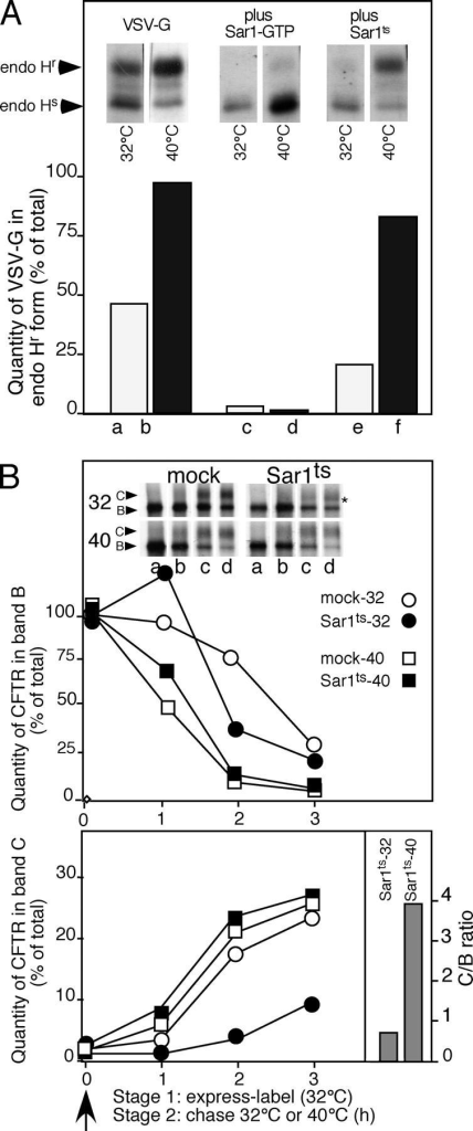 ER export is reversibly sensitive to a novel Sar1 temperature-sensitive (Sar1ts) mutant. (A) BHK cells were cotransfected with pcDNA3.1 containing either VSV-G or VSV-G and the indicated Sar1 mutant. The effect of Sar1-GTP (control) or Sar1ts on processing of VSV-G from the endoglycosidase H–sensitive (endo Hs) ER form to the endo H–resistant (endo Hr) Golgi form after a 5-min pulse with [35S]Met at 32°C followed by a 30 min chase at the indicated temperature was determined as described previously (Yoo et al., 2002). (B) BHK cells were cotransfected with pcDNA3.1 containing wild-type CFTR either with vector only (mock) or, where indicated, cotransfected with pcDNA3.1 containing the Sar1ts mutant. The transport and processing of CFTR from band B to C was followed at the indicated temperature as described in Fig. 1. The C/B ratios for the Sar1ts mutant at 32 and 40°C are shown for the 3-h time point. The asterisk in the top panel of B indicates that CFTR is exported very inefficiently from the ER as band C is only weakly processed to early Golgi oligosaccharide forms. White lines indicate that intervening lanes have been spliced out. Results are typical of three independent experiments.