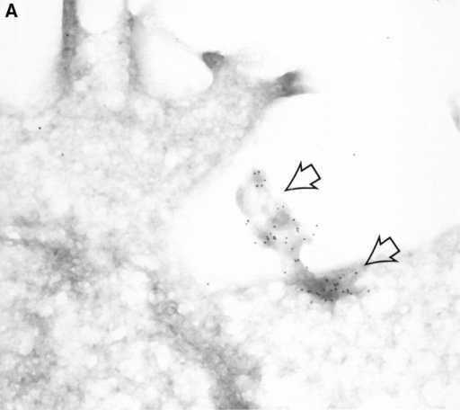 Detection of intracellular GraB by immunogold staining. YAC-1 cells incubated in GraB (2 μg/ml) for 10 min were washed and fixed, then  thin cryosections incubated with murine anti-GraB antibody or colloidal gold goat anti–mouse IgG. (A) Colloidal gold anti-GraB (arrows) localized to an  area of increased electron density on the external leaf of the plasma membrane. (B) High power magnification of gold particles (arrows) in the cytoplasm  near the nuclear membrane. (C) A lower magnification of B showing the position of the immunogold in the whole cell (arrows). (D) YAC-1 cell treated  with anti-GraB antibody and immunogold in the absence of GraB had no detectable gold particles.