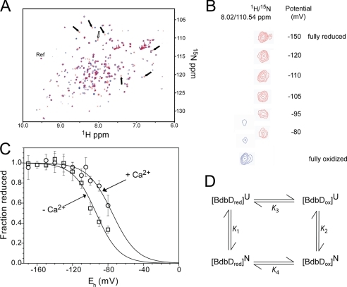 Reduction potential determination for BdbD. A, 1H 15N-HSQC spectra of sBdbD (100 μm) in 50 mm potassium phosphate, pH 7.0, in reduced (red) and oxidized (blue) states. Resonances that were used to follow oxidation state changes are indicated by arrows. The open arrow indicates the resonance shown in more detail in B. The selected reference resonance, which is insensitive to oxidation state, is also indicated (as Ref). B, plot showing potentially dependent changes for one of the selected resonances (reduced resonance at 1H/15N = 8.02/110.54 ppm) at the indicated potential (the reduced resonance is in red and in the oxidized resonance is in blue). As the potential increases the reduced resonance intensity decreases, and intensity corresponding to the oxidized protein (1H/15N = 8.077/110.81 ppm) is observed. C, plot of fraction of reduced sBdbD as a function of the cell potential. The standard deviation for each titration point is indicated on the plot. The solid line shows a fit to supplemental Equation S1. D, thermodynamic cycle connecting the oxidized and reduced forms of native sBdbD with those of unfolded sBdbD (10). K1–K4 are equilibrium constants calculated from ΔG values measured here or, in the case of K3, from literature values for unfolded TDORs/model peptides.