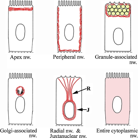 Schematic illustration showing the localization of the seven kinds of IF networks in the cytoplasm of a polarized cell. Red lines indicate IF networks. An apex network (nw.) exists under the apical cell membrane. A peripheral network is distributed just beneath the basolateral cell membrane. A granule-associated network surrounds a mass of secretory granules. A Golgi-associated network surrounds the Golgi apparatus. A radial network (R) is located from the perinuclear region to the specific area of the cell membrane. A juxtanuclear network (J) surrounds the nucleus. An entire cytoplasmic network is distributed throughout the entire cytoplasm.