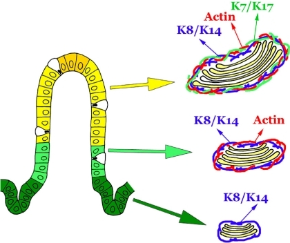 Schematic representation of changes in the composition of the Golgi-associated network during the migration of absorptive cells along the crypt-villus axis. The Golgi-associated network consists of keratin 8/14 filaments (K8/K14) alone in the immature absorptive cells at the upper crypt. This network is reinforced by the addition of actin filaments at the villus base and keratin 7/17 filaments (K7/K17) at the mid-villus to keratin 8/14 filaments following maturation of the Golgi apparatus.