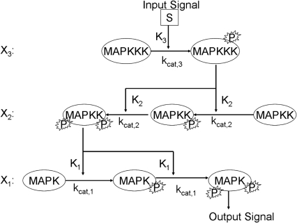 Cartoon representation of the canonical MAPK signaling pathway.