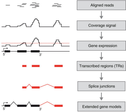 Work flow for the bioinformatics analyses. Sequence reads were mapped to the reference genome (PanTro2), a coverage signal was calculated across the genome and a threshold for expression was established. The threshold was initially used to determine expression of RefSeq genes and later for de novo detection of TRs. TRs with no previous annotations were considered to be novel and further characterized. De novo prediction of splice junctions was performed to join novel TRs with each other and with existing gene models.