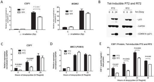 Increased CSF1 expression induced in cells expressing the P72 variant of p53.A. Quantitative reverse transcription/polymerase chain reaction (QRT-PCR) analysis of RNA isolated from the thymuses of P72 and R72 Hupki mice, analyzed for the level of CSF1 and MDM2 following treatment of mice with 5 Gy gamma radiation after 4 hours. Values shown are the average of independent experiments in which a total of three homozygous P72 (P/P) and R72 (R/R) mice (n = 3 each genotype for treated, 1 each genotype for untreated) were analyzed following radiation; levels are normalized to cyclophilin A. Gy = Gray. Error bars mark standard error. B. Western analysis of lysates from H1299 cells containing tetracycline (tet) inducible p53 encoding either the P72 or the R72 variant for the levels of p53, GAPDH and p21 (CDKN1A). Cells were treated with 0.75 ug/ml doxycycline (doxy) for the indicated time points (hrs). C. QRT-PCR of RNA isolated from tet-inducible p53 P72 or R72 cells treated with doxycycline (doxy) for the indicated time points and analyzed for the level of CSF1 mRNA; values shown are the average of 4 independent experiments, normalized to GAPDH. The error bars mark standard deviation. D. QRT-PCR of RNA isolated from tet-inducible p53 P72 or R72 cells treated with doxycycline (doxy) for the indicated time points and analyzed for the level of BBC3 (PUMA); values shown are the average of four independent experiments, normalized to GAPDH. The error bars mark standard deviation. E. Enzyme-linked immunosorbent assay (ELISA) analysis of CSF1 protein level in lysates isolated from H1299 cells with tetracycline-inducible p53 (P72 or R72) untreated or treated with doxycycline (0.75 ug/mL) for the indicated time points. The data depicted are the averaged results from three independent experiments; error bars mark standard error.