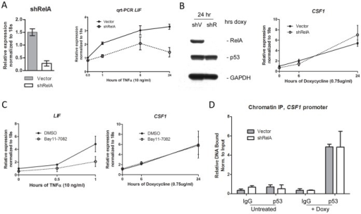 The NF-kB subunit p65RelA does not play a role in the transactivation of CSF1 by p53.A. Left panel: QRT-PCR of p65RelA RNA level in H1299 tet-inducible p53 (P72 variant) cells following infection with a short-hairpin to RelA (shRelA) or vector alone (Vector). Values shown are the average of 3 independent replicates, normalized to control. Right panel: QRT-PCR of RNA isolated from H1299 tet-inducible p53 cells (P72 variant), infected with shRelA or vector. Cells were treated with TNF-α (10 ng/mL) and analyzed for the level of LIF after the indicated time points (hours). Values shown are the average of 3 independent replicates, normalized to control. Error bars mark standard deviation. B. Left panel: Western analysis of lysates isolated from H1299 tet-inducible p53 (P72 variant) cells following infection with a short-hairpin to RelA (shRelA) or vector alone (Vector), after 24 hours of doxycycline treatment (0.75 ug/ml); lysates were analyzed for the level of p53, p65RelA and GAPDH. Right panel: QRT-PCR of RNA isolated from shRelA or Vector tet-on p53 H1299 cells, analyzed for CSF1 after no treatment (0), or treatment with doxycycline (0.75 ug/ml) for the indicated time points (hours). Values shown are the average of 4 independent replicates, normalized to control. Error bars mark standard deviation. C. QRT-PCR of RNA isolated from H1299 tet-inducible p53 cells (P72 variant), infected with shRelA or vector. Cells were untreated (0 hr) or treated with Bay11–7082 or DMSO just prior to the addition of TNF-α (10 ng/ml) for the indicated time points. RNA was analyzed for the levels of LIF and CSF1; values shown are the average of 3 independent replicates, normalized to control. Error bars mark standard deviation. D. Q-PCR of chromatin immunoprecipitation (ChIP) eluates isolated from shRelA or Vector tet-inducible p53 cells, untreated or treated with doxycycline (0.75 ug/ml) for 18 hours. Immunoprecipitations were performed using antibody to p53 (Ab6) or the equivalent amount of normal mouse Immunoglobulin G (IgG). Primers used for Q-PCR analysis flank the predicted p53 response element on the CSF1 promoter. Values shown are the average of 2 independent experiments repeated in duplicate, and are presented as percent bound normalized to input. Error bars mark standard error.