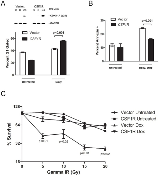 CSF1R signaling promotes cell survival, cell cycle arrest.A. Top panel: Western analysis of lysates from CSF1R overexpressing (CSF1R) or Vector alone (Vector) tet-inducible p53 H1299 cells, untreated (0 hr) or treated with doxycycline (0.75 ug/ml) for the time points indicated (hours, hrs). Cells were analyzed for the levels of p21 (CDKN1A) and GAPDH control. Bottom panel: Flow cytometric analysis of propidium iodide-stained cells from H1299 tetracycline inducible p53 cells stably infected with CSF1R or Vector, untreated or treated with doxycycline (doxy, 0.75 ug/ml) for 24 hours. The percent of cells with 2n DNA content (G1) are shown. Values shown are the average of 3 independent experiments. Error bars mark standard error. B. Flow cytometric analysis of Annexin V-positive cells in H1299 tetracycline inducible p53 cells stably infected with CSF1R or Vector, untreated or treated with doxycycline (doxy, 0.75 ug/ml) and etoposide (50 uM) for 24 hours. Values shown are the average of 3 independent experiments; the p value compares the level of Annexin V positive cells in vector versus CSF1R cells following treatment with doxycycline and etoposide. Error bars mark standard error. C. Colony forming assays were performed with H1299 tet-inducible p53 cells expressing CSF1R (CSF1R) or Vector alone (Vector). Cells were untreated or treated with doxycycline (0.75 ug/ml) 24 hours prior to irradiation with 0, 5, 10, 15 or 20 Gray (Gy) of gamma-irradiation (Gamma-IR). Doxycycline treatments were continued for 8 days; cells were fed every three days. Colonies were then stained with methylene blue and those colonies with greater than 30 cells were counted. Values shown are the average of 3 independent experiments. Error bars mark standard error.