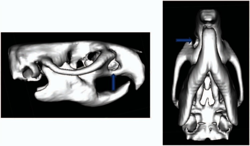 Reformatted computerized tomography imaging showing the initial size of the bone defect as 5 mm in diameter. The blue arrows show the alveolar osseous defect.
