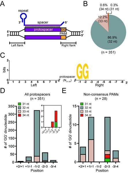 The Type I-F PAM. (A) Schematic of the crRNA bound to the protospacer showing the location of the PAM. (B) Spacer length distribution. (C) Sequence Logo of 8 nt of 5′ and 3′ protospacer flanking sequences. The consensus –1/–2 GG PAM is shown. Number of GG dinucleotides at each position for (D) all protospacers and (E) protospacers lacking the consensus –1/–2 GG grouped according to spacer length. In (D) the inset shows the GG dinucleotides for the 31 and 34 nt spacers.
