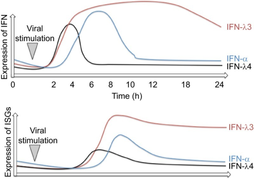 Expression dynamics of IFNs and ISGs during viral infection or inflammatory stimulation. Red line represents IFNL3, blue line IFN-α and black line IFNL4 expression dynamics. The lower panel illustrates the amount of ISG expression.