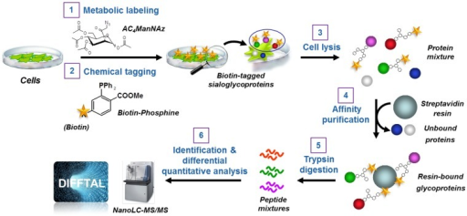 Profiling cell surface sialoglycoproteins via the bio-orthogonal chemical reporter strategy combined with quantitative shotgun proteomics.The strategy consists of six steps: 1) metabolic labeling of cells with Ac4ManNAz; 2) chemoselective conjugation of azide-labeled glycans with a biotin-linked phosphine; 3) cell lysis; 4) affinity enrichment of the biotin-tagged proteins on streptavidin-conjugated beads; 5) on-beads trypsin digestion of affinity-captured sialoglycoproteins; 6) identification using high-performance liquid chromatography tandem mass spectrometry (LC-MS/MS) analysis using a nano-LC-LTQ Orbitrap mass spectrometer platform and sequence database searching, and quantitative differential analysis of the sialoglycoproteins using label-free analysis with DIFFTAL (DIFferential Fourier-Transform AnaLysis) software algorithm.