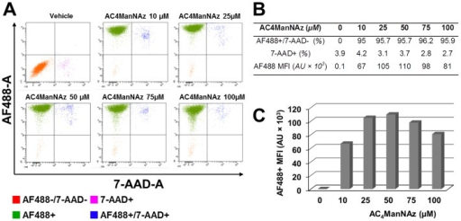 Flow cytometric analysis of azide-modified surface sialoglycoconjugates on U373 MG cells.U373 cells were incubated with increasing concentrations of Ac4ManNAz (10 to 100 µM) or vehicle for two days and then probed with biotin phosphine (50 µM) for 1 h at room temperature. Next, non-permeabilized cells were stained with Alexa Fluor 488 (AF488)-conjugated Streptavidin. After washing, cells were permeabilized, stained with 7-amino-actinomycin D viability dye (7-AAD), and subsequently analyzed by flow cytometry. (A) FACScan dot plots generated by the analysis of 10,000 events show Streptavidin Alexa Fluor 488 versus 7-AAD cell staining. (B) 7-AAD+: percentage of non-viable 7-AAD positive cell population; AF488+/7-AAD-: percentage of AF488 positive viable cell population; AF488 MFI: AF488 mean fluorescence signal associated with viable cell in arbitrary units (AU). (C) Dose-dependent incorporation of Ac4ManNAz into U373 MG cell surface sialoglycoconjugates. Data are representative of at least three independent experiments.