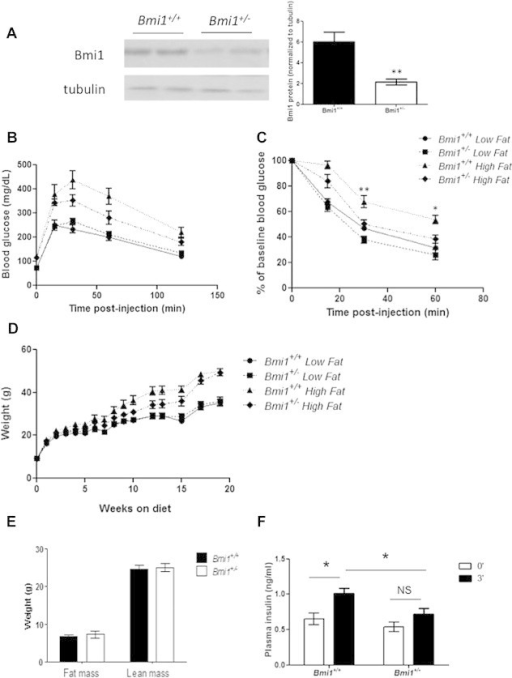 Bmi1+/− mice are partially protected from high fat diet-induced insulin resistance and require less insulin to maintain glucose homeostasis. (A) Western blots of lysates from Bmi1+/+ and Bmi1+/− male liver lysates showing levels of Bmi1 protein. Quantification of western blots from 5 animals per genotype. (B–C) Glucose and insulin tolerance tests of 16–18 week old LFD and HFD-fed Bmi1+/+ and Bmi1+/− males (B) 1 g/kg IP glucose bolus, p= 0.1211 by two-way ANOVA for HFD Bmi1+/+ vs HFD Bmi1+/− and (C) 1.5 U/kg IP insulin, p = 0.0095 by two-way ANOVA for HFD Bmi1+/+ vs HFD Bmi1+/−. (D) Body weights of LFD and HFD-fed Bmi1+/+ and Bmi1+/− males. (E) Lean and fat mass unaffected in HFD Bmi1+/+ and Bmi1+/− mice at 29 weeks of age, as measured by NMR. n = 7–8 mice per genotype for all assessments. *p < 0.05 **p < 0.01 vs Bmi1+/+ (F) Plasma insulin at 0 and 3 min after 2 g/kg IP glucose bolus. *p < 0.05; n = 13–15 per genotype.