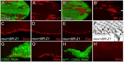 BR-Z1 upregulation is required for Sens upregulation at the PWM of CSN mutants.(A–B′) Upregulation of BR-Z1 (red) in CSN4 (A, A′) and CSN5 clones (B, B′) 20–24 h APF. White arrowheads indicate the anterior-posterior boundary. (C–F) Transient overexpression of BR-Z1 in bristle lineage cells via neur-GAL4 and Tub-GAL80ts. (C–E) Ectopic expression of Sens (red in C), accumulation of Hnt (red in D) and ectopic formation of Elav-positive neurons (red in E) were observed at the PWM 22–24 h APF. Prepupae grown at 18°C were shifted to 37°C for one hour at 8–10 h APF, and then incubated at 29°C until dissection. (F) Bristles with dome-shape sockets (indicated by arrows) were observed at the PWM. Inset: enlarged figure showing single bristle. The experiment was carried out similarly to (C–E) except for incubation at 29°C for 12 hours, and returning back to 18°C until eclosion. (G–H′) Knockdown of CSN2, in MARCM clones (green), induced Sens (red) upregulation at the PWM 20–24 h APF (G, G′), which was abolished in CSN2 RNAi brnpr1 double mutant MARCM clones (green) (H, H′).