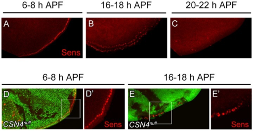 Temporal regulation of Sens expression by CSN4.(A–C) Sens (red) expression in wild-type wing discs at the PWM. The expression gradually declined from 6–8 h APF (A) to 16–18 h APF (B), and was below detection 20–22 h APF (C). (D–E′) Sens (red) levels at the PWM 6–8 h APF were identical between CSN4 cells and neighboring CSN4/+ cells (D, D′), and were upregulated in CSN4 clones 16–18 h APF (E, E′).