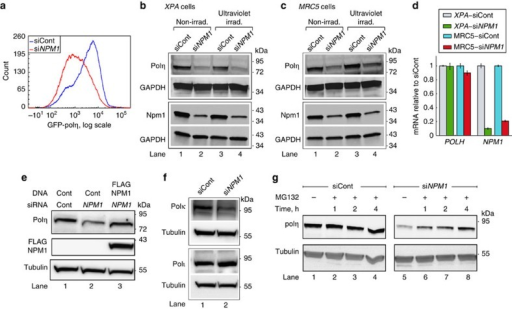 NPM1 protects DNA polη from proteasomal degradation.(a) MRC5sv cells stably expressing GFP-POLH were treated with siRNA against NPM1 or non- targeting control siRNA (siCont). GFP-polη levels were quantified by flow cytometry. (b,c) Immunoblot of polη extracted from human XPA cells (b) and MRC5sv cells (c) pretreated with siRNA against NPM1 or non-targeting siCont. When indicated, cells were ultraviolet-irradiated 15 h before extraction with 2 J m−2 (b) or 10 J m−2 (c). Upper and lower blots were done with the same extracts. (d) Polη downregulation is not at the transcription level. qPCR of POLH and NPM1 mRNA levels from cells pretreated with siRNA against NPM1, normalized to non-targeting siRNA-treated cells. Mean values±s.e.m. of three replicas are presented. (e) Immunoblot of polη extracted from MRC5sv cells pretreated with siRNA against NPM1 and complemented by ectopic expression of an siRNA-resistant NPM1 construct. (f) Polκ, but not polι, is also affected by NPM1 knockdown. Immunoblots of polκ and polι extracted from MRC5sv cells pretreated with siRNA against NPM1, or non-targeting siCont. (g) Accumulation of polη following proteasomal inhibition. MRC5sv cells were treated with non-targeting siRNA or siRNA against NPM1 and then subjected to MG132 for the indicated time periods in order to inhibit proteasomal activity. Tubulin served as a loading control. All blots are representative of three independent experiments. Irad., irradiated.