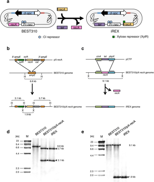 Construction of therecA-inducible BGM vector system. (a) The BEST310 and iREX constructs that possess two antibiotic resistance gene cassettes for BAC cloning: Pr-neo, a lambda Pr promoter fused to the neomycin resistance gene (neo), and cI-spc, which contains cI encoding the CI repressor protein, which binds to the Pr promoter, fused to the spectinomycin resistance gene (spc). The closed and open arrows indicate the BAC cloning site, and the red and blue lines indicate the pBR322 sequence. (b) The inducible recA expression cassette, pX-recA, was inserted at the amyE locus of the BEST310 genome via homologous recombination. amyE is not essential for the viability of B. subtilis [15]. cat, chloramphenicol acetyltransferase; H, HindIII; X, XhoI. (c) After introducing the pX-recA, the endogenous recA was replaced with the tetracycline resistance gene (tet) via homologous recombination. X, XhoI. (d) Southern blot analysis using an amyE probe indicated the correct insertion of pX-recA. The genomic DNA of the represented clones was digested with HindIII. The open arrowhead indicates the intact amyE in BEST310. The closed arrowheads indicate 5'-amyE and 3'-amyE divided by the insertion of pX-recA. (e) Southern blot analysis using a recA probe indicated the correct insertion of pCTP. The genomic DNA of the represented clones was digested with XhoI. The open arrowheads indicate the endogenous recA. The closed arrowheads indicate the inducible recA derived from pX-recA.