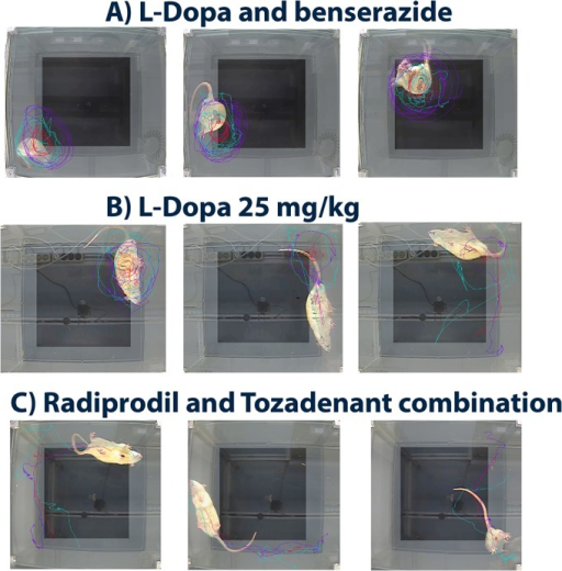Comparison of the behavioural profile (space occupancy and body position) of 6-OHDA-lesioned rats after acute administration of (A) L-Dopa 14 mg/kg/benserazide 3.5 mg/kg; (B) L-Dopa 25 mg/kg and, (C) RAD3/TOZ combination.Fig 3A: Typically, lesioned rats even after the first administration of L-Dopa/benserazide showed a bent body position with some loss of floor contact with forepaw(s) during rotational activity. The contraversive rotations are characterized by a small diameter of the circle drawn when the nose turns around the center of gravity. The trajectory refers to a sum of circles express in various locations of the surface arena; Fig 3B: Rats treated with a weak dose of L-Dopa (25 mg/kg) expressed a mix of contralateral rotations and straight movement during exploration of the floor. The body position is straight and all the paws are in contact with the floor during the rotations; Fig 3C Rats treated with RAD3/TOZ combination showed a straight body position with all paws in contact with the floor while explorating. The trajectories are straight and space occupancy is large; there are some alterance during exploration of the walls and the center of the arena.