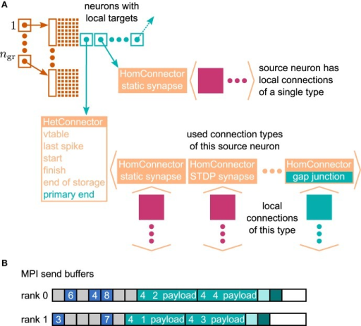 Data structures for the representation of gap junctions. Turquoise elements indicate necessary changes to the fundamental data structures with respect to the 4g simulation kernel of NEST (cf. Kunkel et al., 2014). (A) Thread-local connection infrastructure. For all neurons a sparse table (dark orange) encodes whether at least one thread-local target is present or not. If a neuron has local targets, the sparse table stores a pointer (turquoise square with arrow) to a connection container (light orange data structure), where the least significant bits of this pointer encode whether gap junctions are present or not. The container is either a HomConnector or a HetConnector depending on whether the neuron has only one or more than one type of local connection. A HomConnector directly stores the connection objects, whereas a HetConnector stores a vector of HomConnectors, one per connection type. The HomConnectors for spiking connections come first in the vector and the member primary_end is the number of spiking connection types in the vector. (B) MPI send buffers accumulating outgoing events in the scheduler. Toy example for a particular communication interval with two MPI processes, where rank 0 hosts the neurons with even global IDs (GIDs) and rank 1 hosts the neurons with odd GIDs. Each buffer consists of two parts: the data related to spiking connections (blue boxes) followed by the data related to gap junctions (turquoise boxes). The spike data consist of the GIDs of the local neurons that spiked in the last communication interval, where markers (light gray boxes) define the end of a simulation interval (here four simulation steps per communication step) and thereby encode the spike time. For each local neuron that has gap junctions (here neurons 1–4) the corresponding buffer contains an entry, which consists of the ID of the connection type (here gap junctions have the ID 4), the GID of the neuron, and information about the state of the neuron (payload). A marker (light turquoise box) defines the end of the gap-junction data. The final valid entry in each buffer is a boolean value (dark turquoise box), which encodes whether the local neurons require another iteration of the waveform-relaxation method. The buffers may not be completely filled (white boxes).