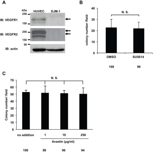 The VEGFR kinase inhibitor SU5614 and Avastin did not inhibit DJM-1 cell proliferation. (A) Western blot for VEGFR1 or VEGFR2 of DJM-1 cell lysates. As a positive control, the cell lysates of HUVEC were applied in the left lanes. Arrows indicate VEGFR1 or VEGFR2. (B) Colony formation assay for DJM-1 cells treated with 10 µM SU5614, the VEGFR kinase inhibitor, and with 0.2% DMSO as the control. (C) DJM-1 cell colony formation assay treated with Avastin (from 1 to 250 µg/ml). These data represent the means±s.d. N.S., not significant. Percentages from each mean relative to the DMSO (B) or no addtion (C) are shown below the graph.