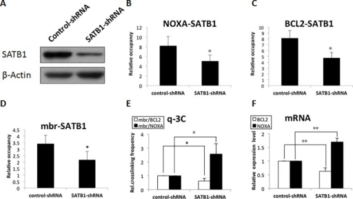 SATB1 was a critical factor for the chromatin loop conversion and the cooperative expression of BCL2 and NOXA genes in Jurkat cells.Jurkat cells were transiently transfected with control-shRNA or SATB1-shRNA plasmids, and targeting efficiency was confirmed by Western blot analysis (A). SATB1 knockdown significantly reduced the association of SATB1 with NOXA promoter (B), BCL2 promoter (C), and mbr (D), as revealed by q-ChIP. Quantitative 3C assays further showed that reduction of SATB1 binding significantly increased mbr-NOXA interactions and dramatically decreased the mbr-BCL2 interactions (E). RT–PCR analysis confirmed the BCL2 mRNA level was decreased while the NOXA mRNA level was increased, keeping pace with the conversion of the mbr-promoter loops; we normalized all the genes by using actin control for quantity. (F). These results indicated that reduced SATB1 switched the mbr-BCL2 chromatin loop to the mbr-NOXA chromatin loop, which was involved in cooperative regulation of the NOXA and BCL2 genes.