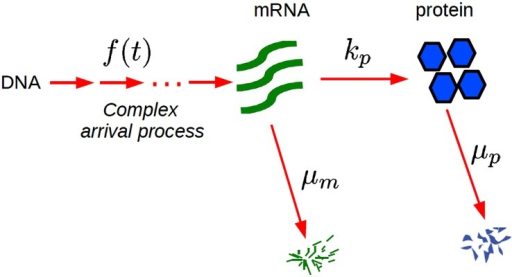 Kinetic scheme for the gene expression with general arrival time distributions.Bursts of mRNAs arrive with a general arrival time distributions f(t). Each mRNA produces proteins with rate kp and mRNAs and proteins decay with rates μm and μp, respectively.