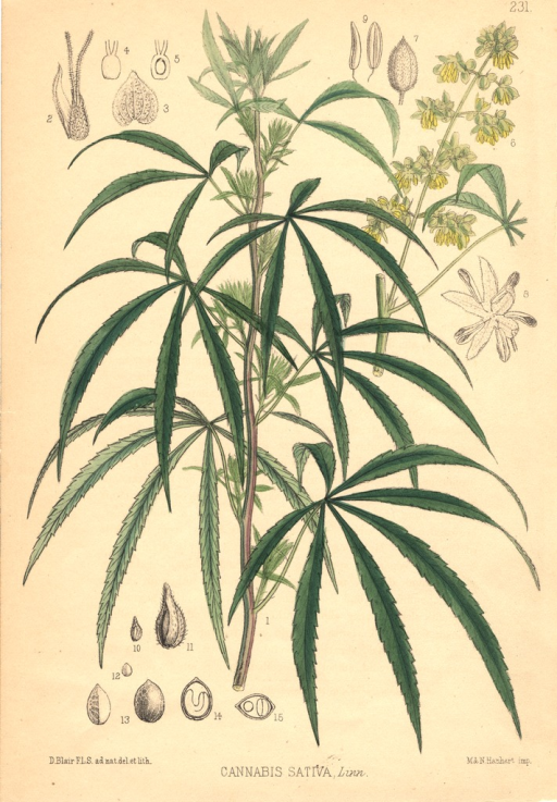 <p>Predominant view is of the foliage; the flower and seeds are shown in the background.</p>