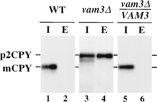 Vacuolar protein  sorting in vam3  cells.  SEY6210 (WT), TDY1  (vam3Δ), and TDY1 cells  harboring single-copy complementing VAM3 plasmid  (pVAM3.414) were converted to spheroplasts, and  then pulse labeled with  [35S]cysteine/methionine for  10 min at 30°C. Chase medium containing nonradioactive cysteine and methionine was added and incubation was continued  for an additional 45 min. The spheroplasts were separated into  intracellular (I) and extracellular (E) fractions, and CPY was immunoprecipitated with specific polyclonal antibodies, resolved  by SDS-PAGE, and analyzed by autoradiography. The positions of  Golgi-modified precursor (p2) and mature (m) CPY are indicated.