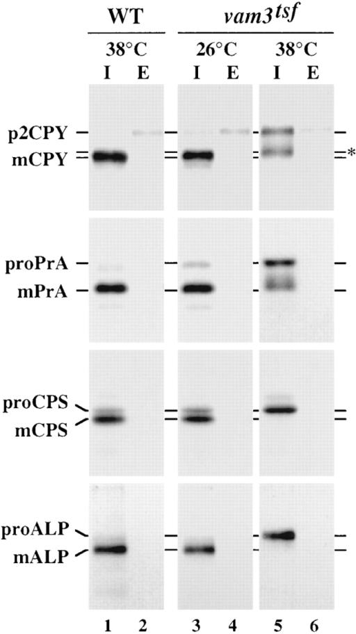 Vacuolar protein sorting in vam3tsf mutant cells. TDY1  (vam3Δ) cells transformed with either complementing plasmid  (pVAM3.414) or plasmid containing a temperature-sensitive for  function (tsf) allele of vam3 (pVAM3-6.414) were converted to  spheroplasts, and then incubated at either permissive (26°C) or  nonpermissive (38°C) temperature for 5 min. Cultures were labeled with [35S]cysteine/methionine for 10 min, and then chased  for an additional 45 min at the indicated temperature. The cultures were separated into intracellular (I) and extracellular (E)  fractions, and the vacuolar proteins CPY, PrA, CPS, and ALP  were immunoprecipitated from each fraction, resolved by SDS-PAGE, and followed by autoradiography. CPS samples were  treated with endoglycosidase H before electrophoresis. The positions of Golgi-modified precursor (p2, pro) and mature vacuolar  (m) proteins are indicated.