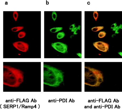 Immunostaining of BHK cells transfected with the FLAG-tagged pcDNA/SERP1/RAMP4 using anti-FLAG antibody (a), anti-PDI antibody (b), and both (c). SERP1/RAMP4-transfected BHK cells were fixed in 0.1% NP-40/4% paraformaldehyde solution and subjected to the immunostaining protocol (see text). Sites of primary antibody binding were visualized with TRITC-conjugated anti–mouse antibody for FLAG epitope (a), FITC conjugated anti–rabbit antibody for PDI (b), or using both detection systems (c). Upper panels show lower magnification and lower panels higher magnification. Note that the two epitopes colocalize throughout the interior, and even in peripheral regions of the cells.