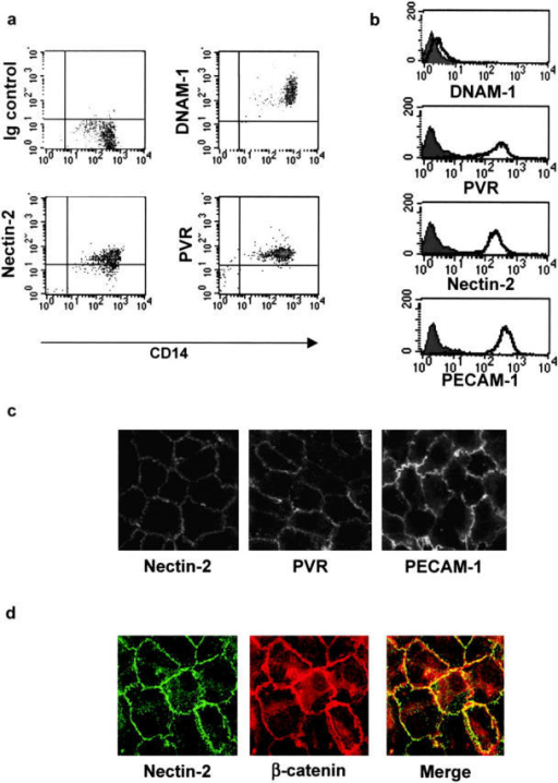 Analysis of the cell surface expression of DNAM-1, PVR, and Nectin-2 on monocytes and primary vascular endothelial cells. (a) Fresh PBMCs were gated on monocytes on the basis of both size and granularity. Cells were analyzed by two-color immunofluorescence and FACS® analysis with anti-CD14 mAb in combination with anti–DNAM-1 (FS.123), anti-PVR (PV.404), or anti–Nectin-2 (R2.477) mAbs followed by FITC- or PE-conjugated goat anti–mouse second reagents. (b) HUVECs were analyzed by one-color immunofluorescence and FACS® analysis with anti–DNAM-1 (FS123), anti-PVR (PV.404), anti–Nectin-2 (R2.477), or anti–PECAM-1 (JC/70A) mAbs followed by FITC-conjugated goat anti–mouse second reagents. Gray profiles indicate cells incubated with the second reagent only. We previously controlled that trypsin treatment does not affect cell surface expression of Nectins. Similar results were obtained when HUVECs were detached with 0.02% (wt/vol) disodium EDTA in PBS. (c) Localization of Nectin-2 and PVR on primary endothelial cells. HUVECs were fixed; incubated with 2 μg/ml of anti–Nectin-2 (R2.477), anti-PVR (PV.404), and anti–PECAM-1 (JC/70), followed by Alexa-488–labeled goat anti–mouse second reagent; and analyzed by immunofluorescence microscopy. Staining was similar on live cells (not depicted). (d) HUVECs were fixed, permeabilized, and stained with the anti–Nectin-2 (R2.477) mAb and the anti–β-catenin rabbit antiserum followed by Alexa-488–labeled goat anti–mouse antibody and TRITC-labeled goat anti–rabbit second reagents, respectively. Cells were analyzed by immunofluorescence microscopy.