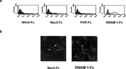 DNAM-1 recognizes junctional ligands expressed on endothelial cells. (a) HUVECs were analyzed by one-color immunofluorescence and FACS® analysis with Nec2-Fc, PVR-Fc, DNAM-1–Fc, and N4vtr-Fc (negative control) followed by FITC-conjugated goat anti–human second reagents. Gray profiles indicate cells incubated with the second reagent only. All soluble proteins were used at 20 μg/ml. Similar results were obtained when HUVECs were detached with 0.02% (wt/vol) disodium EDTA in PBS. (b) Immunofluorescence microscopy analysis of HUVECs using 20 μg/ml DNAM-1–Fc followed by FITC-conjugated goat anti–human second reagents. No staining was revealed with Nec2-Fc. The DNAM-1–Fc staining delineates the junctional systems between adjacent cells suggesting that DNAM-1 interacts with ligands localized at endothelial cell junctions. Similar results were obtained on live confluent HUVECs (not depicted).