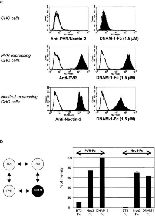 PVR and Nectin-2 directly bind to DNAM-1. (a) CHO/K cells either nontransfected or transfected with PVR or Nectin-2 cDNAs were analyzed by FACS® analysis with anti-PVR (L95) or anti–Nectin-2 (L14) mAbs, followed by a PE-conjugated goat anti–mouse second reagents (left). CHO/K: gray line, isotype matched mAb; black line, L95 mAb; and dashed line, L14 mAbs. CHO/K transfectants: gray line, isotype matched mAb and black histogram, L95 and L14 mAbs. Binding of DNAM-1–Fc at 1.5 μM on CHO/K cells was revealed by PE-conjugated goat anti–human second reagents (right): (gray line) incubation with the second reagent.; (black histogram) incubation with 1.5 μM DNAM-1–Fc. (b, left) PVR and Nectin-2 directly bind to Nectin-3. (right) To analyze PVR and Nectin-2 interactions with DNAM-1, biotinylated PVR-Fc and Nectin-2–Fc binding was measured by ELISA on wells coated with BT3-Fc (unrelated protein), Nectin-3–Fc (positive control), or DNAM-1–Fc. PVR-Fc and Nectin-2–Fc directly bind to DNAM-1–Fc and as expected with Nectin-3–Fc.