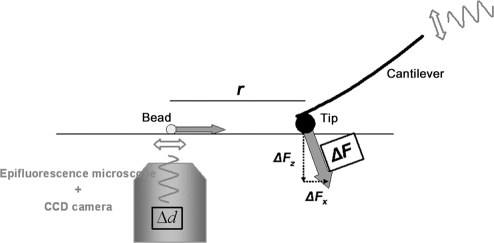 Setup to measure mechanical anisotropy.Point-like forces (ΔF) were imposed to indent the surface of the TM using a spherical tip. Since our experimental approach required controlled lateral forces, the AFM was tilted with respect to the stage. Surface displacements (Δd) were detected by tracking fluorescent beads deposited onto the surface of the TM. A set of measurements consisted of several indentation measurements performed at increasing tip-bead distances (r).
