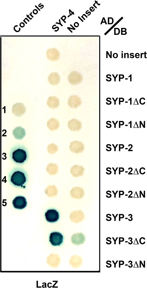 A yeast two-hybrid approach reveals that SYP-4 interacts with SYP-3 through its N-terminal domain.The yeast two-hybrid system was used to test for protein interactions between SYP-1, SYP-2 and SYP-3 full length, N- (ΔN) and C-terminal (ΔC) truncations fused to the DNA binding domain (DB) of GAL4, and SYP-4 full length fused to the activation domain (AD) of GAL4. Positive yeast two-hybrid interactions were assessed by β-galactosidase activity. This approach revealed an interaction between SYP-4 and SYP-3. Numbers 1 to 5 represent standard controls: 1, DB and AD without any fusion; 2, DB-pRB and AD-E2F1; 3, DB-Fos and AD-Jun; 4, Gal4p and AD; and 5, DB-DP and AD-E2F1.