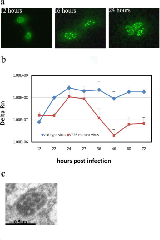 VP26 mutant virus shows a delayed proliferation. The recombinant virus HSV1-UG with a GFP-UL35 fusion gene was used to infect Vero or KMB-17 cells at 1 MOI. Punctated fluorescence spots were observed in the nucleus during infection, which is similar to the recombinant HSV1 with GFP-Vp16 fusion gene ([31]). At 12, 22, 24, 27, 36, 46, 60 and 72 h post-infection, samples of cell infected by HSV1-UG were collected and measured by real-time PCR with specific primers against α-4 gene. n = 3 for all time points. Error bars represent the standard error of the mean. Meanwhile, the KMB-17 cells infected by HSV1-UG were fixed with 5% glutaraldehyde and observed under the electron microscope. a. The Vero cells infected by VP26 mutant HSV1-UG were observed under fluorescence microscope at 12, 16 and 24 h. b. Growth curve of HSV1-UG compared with that of wild type HSV-1 in Vero cells. c. Electro-microscope observation of cells infected by HSV1-UG(X30, 000).