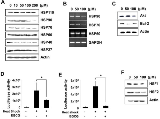 FEGCG suppresses the expression of HSP70 and HSP90 in MCF-7 cells. (A) The cells were treated with EGCG for 24 h and the expression levels of heat shock proteins were determined by Western blot analysis. (B) The levels of HSP90, HSP70, and HSP60 mRNA were detected by RT-PCR analysis. GAPDH was used as an internal control. (C) The cells were harvested 24 h after EGCG treatment. Cell lysates were subjected to Western blot analysis for Akt and Bcl-2. (D), (E) MCF-7 cells were transfected with pGL3-HSP70 (D) or pXP2-HSP90 (E) reporter vector. After 24 h, cells were heat shocked at 42°C for 1 h followed by recovery at 37°C for 24 h with EGCG (100 μM). Cells were harvested and the cell extracts were subjected to luciferase assay. The results were represented as the mean ± SD of three independent experiments. Asterisk, P < 0.05, significantly different from control. (F) The cells were treated with indicated concentrations of EGCG for 24 h. The expression levels of HSF1 and HSF2 were monitored by Western blot analysis.