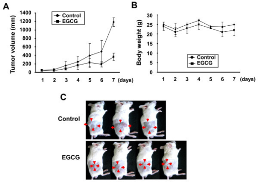 "EGCG represses the growth of tumor in mice. BALB/c mice were subcutaneously injected with 5 × 106 colon carcinoma CT26 cells into the right flank. After 4 days, the mice were given daily dose of PBS or EGCG (10 mg/kg) through intraperitoneal injection for 7 days as described in ""Methods"" section. (A), (B) Serial tumor volumes and body weights were measured everyday. Values represent mean ± SD. (C) Representative images of xenograft tumors."
