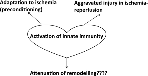A summary of the main discussion in the review; Innate immunity evident as cytokine release, Toll-like receptor activation, or nuclear factor kappa activation may lead to beneficial myocardial adaptation to ischaemia. Cardiac innate immunity increases acute ischaemic injury. However, its role in long-term chronic models of remodelling and hypertrophy is not clarified