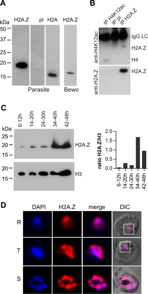 PfH2A.Z is expressed in the nucleus throughout asexual differentiation.Full length PfH2A.Z was expressed as a GST-fusion protein in E. coli and used to immunize rabbits. (A) Specificity of antisera. Parasite extracts were separated by SDS-PAGE and analysed by western blot. Anti-PfH2A.Z antiserum specifically reacted with PfH2A.Z at 18 kDa in parasite extracts and did not cross-react with H2A at 15 kDa (1st panel). Pre-immune serum (pI) does not show any reactivity (2nd panel). Anti-H2A antiserum specifically detects H2A migrating at 15 kDa (3rd panel). Anti-PfH2A.Z detects human H2A.Z in BeWo cell lysate (4th panel). (B) Anti-PfH2A.Z immunoprecipitates acetylated PfH2A.Z. Upper panel: Anti-H4K12ac antibody labels immunoprecipitated PfH2A.Z (lane 3). Anti-H4K12ac recognises an acetylated epitope present in both H4 and PfH2A.Z. Anti-H4K12ac IP (lane 1) was performed as a positive control and shows precipitation of a band corresponding to H4. No bands are apparent after IP with pI serum (lane 2). The IgG light chain (IgGLC) from the precipitating antibodies is also detected by the secondary antibody. Lower Panel: western blot reprobed with anti-PfH2A.Z confirms specificity of the immunoprecipitation. (C) Western blot analysis across the asexual life cycle demonstrates expression of PfH2A.Z and H3 in all stages. In comparison to H3, PfH2A.Z protein expression peaks in parasites 34–40 hours post-invasion which corresponds to late trophozoites/early schizonts. The ratio of H2A.Z/H3 signal in the western blot was determined by densitometry and is presented in a bar graph. (D) Nuclear localization of PfH2A.Z is shown by indirect immunofluorescence analysis and confocal microscopy of fixed 3D7 parasites using anti-PfH2A.Z antibodies. DNA was visualized with DAPI. R  =  ring stage, T  =  trophozoite stage, S  =  schizont stage. DIC  =  differential interference contrast.